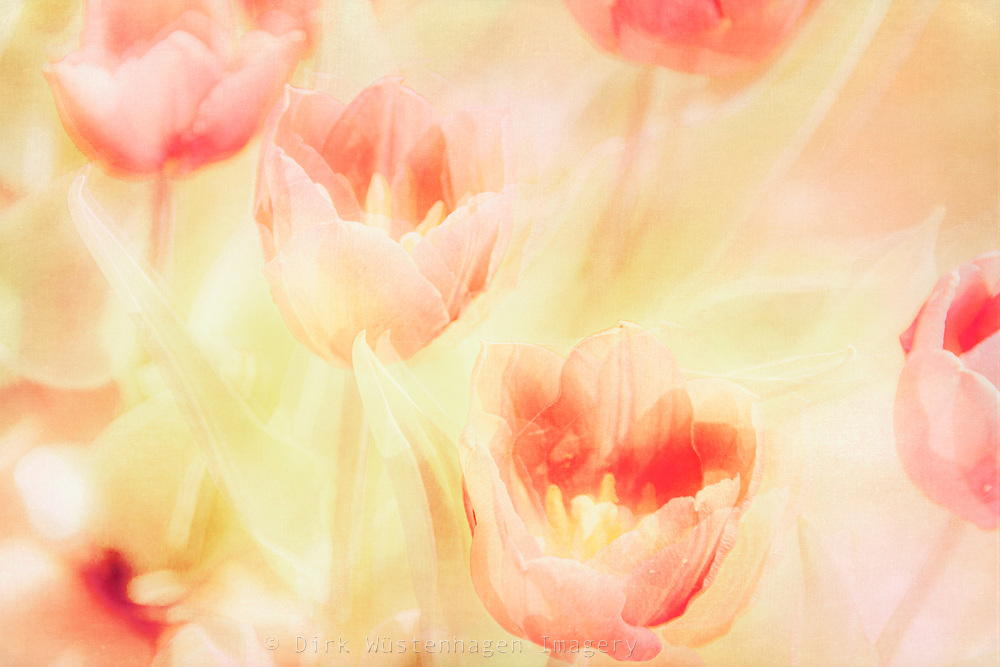Abstraction of tulip blossoms