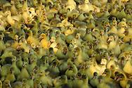 """Domestic goose, Anser anser, lots of some days old chicks in a farm. This picture is part of the series """"Escape into life""""..Hausgans, Anser anser, Masse von wenige Tagen alten Gänseküken in einem Zuchtbetrieb. Diese Bild ist Teil der Serie ,,Ausbruch ins Leben""""."""