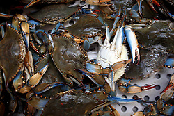 07 May 2010. Westwego, Louisiana. <br /> Perhaps the last of local fresh blue crabs to arrive at the Westwego Fish market just outside New Orleans. All seafood prices have risen 25% in the past 7 days alone as stocks run low thanks to closed fishing grounds affected by oil pollution. Today was the opening day of the inshore shrimp season. The season was closed before it could open thanks to BP's disastrous environmental catastrophe out in the Gulf of Mexico. Approximately 210,000 barrels of oil per day is leaking uncontrollably into the Gulf because of the explosion and collapse of the Deepwater Horizon drilling platform 46 miles out to sea. The closure of fishing grounds both east and west of the Mississippi river outflow is crippling thousands of local fishermen and all affiliated businesses and families who rely on the seafood industry. None of the shrimp or other seafood offered at the market are fresh catch from today. Everything has been through the IQF (Instant Quick Freeze) process and is seafood caught earlier in the season and brought from storage freezers in Venice and Grand Isle. Stocks are running low. With no new catches, the market will be forced to rely on farmed shrimp shipped in from Texas and Georgia. Local traders refuse to stock Chinese import fish raised with growth hormones, pesticides, fungicides and other contaminants widely found in Chinese farm raised seafood. Many fear losing their jobs and everything they own as a result of BP's Gulf Coast environmental disaster.<br /> Photo credit;Charlie Varley/varleypix.com
