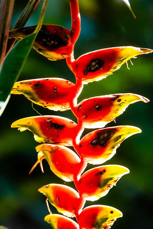 Bico de Papagaio (plant), Parque des Aves (Bird Park), Foz do Iguacu, Brazil.