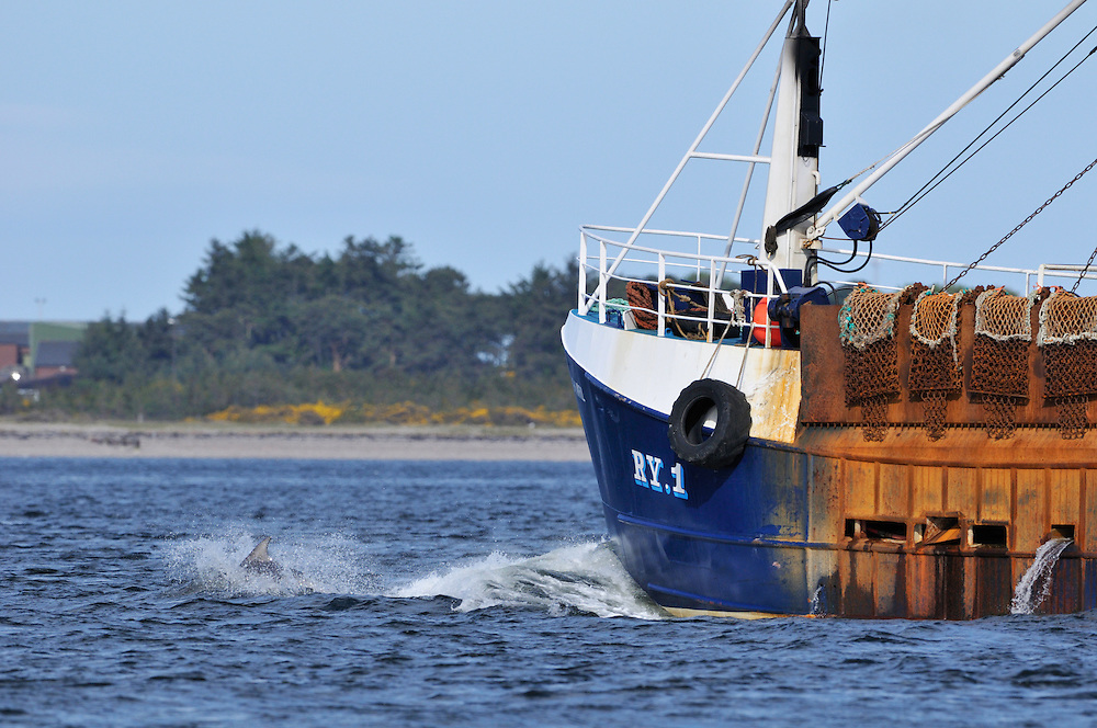Bottle-nosed Dolphin bow-riding fishing boat,<br /> Tursiops truncatus,<br /> Moray Firth, Nr Inverness, Scotland - May