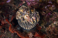 A camouflaged top shell, Gibbula sp, eating a Bryozoa or called moss animal, Zhifu Island (Chinese: 芝罘島), Shandong Province, China, by the Bohai Sea, that is the inner part of the Yellow Sea where both the Yellow River and Hai He flow into.<br /> <br /> Conservation: The Yellow Sea is one of the most threatened marine areas on earth. Land reclamation has destructed more than 60% of tidal wetlands in only 50 years. Rapid coastal development for agriculture, aquaculture and industrial.development are primary drivers of coastal destruction in the region. In addition pollution, harmful algal blooms, invasion of introduced species are having a negative effect. There are 25 intentionally introduced species and 9 unintentionally introduced species in the Yellow Sea marine ecosystem.