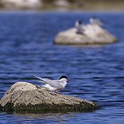 Arctic Tern (Sterna paradisaea) along the shores of Wager Bay in the Northwest Territories of Canada.