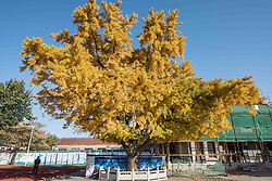 November 10, 2018 - Weifang, Weifang, China - Weifang,CHINA-A 220-year-old golden ginkgo tree can be seen in Weifang, east China's Shandong Province. (Credit Image: © SIPA Asia via ZUMA Wire)