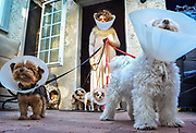 Actor Eileen Galindo and her Pups, share a morning walk all wearing medical cones.