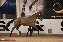 008, Sparkling JW van de Moerhoeve<br /> BWP Hengstenkeuring 2021<br /> © Hippo Foto - Dirk Caremans<br />  11/01/2021