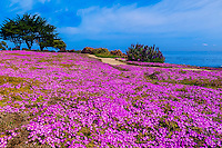 Carpet of mesembryanthemum flowers along the Monterey Bay Coastal Trail in Pacific Grove, Monterey, California, USA