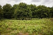 Germany, Troisdorf, North Rhine-Westphalia, oak trees an fern in the Wahner Heath.<br /> <br /> Deutschland, Nordrhein-Westfalen, Troisdorf, Eichen und Farn in der Wahner Heide. -