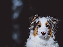 THEMENBILD - Portrait eines Australian Shepherd, aufgenommen am 27. Jänner 2021, Kaprun, Österreich // Portrait of an Australian Shepherd , Kaprun, Austria on 2021/01/27. EXPA Pictures © 2021, PhotoCredit: EXPA/ JFK
