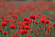 Israel, a field of red poppies Papaver umbonatum