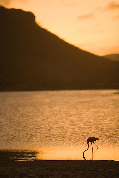 Caribbean, Netherlands Antilles, Bonaire.  Caribbean Flamingo (Phoenicopterus ruber ruber)feeding in Gotomeer Lake at sunset.