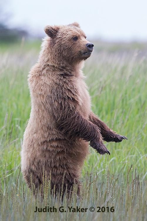 Coastal Brown Bear