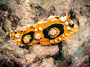 Phyllidia ocellata is a species of sea slug, a dorid nudibranch, a shell-less marine gastropod mollusk in the family Phyllidiidae.