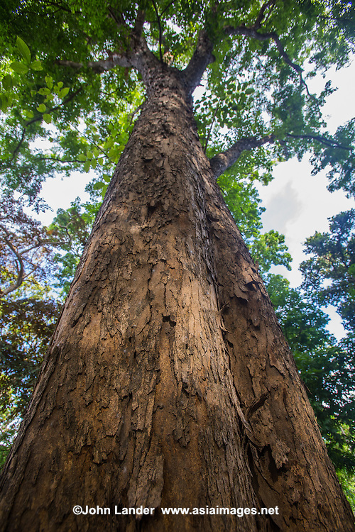 """Pterocarpus indicus  """"Rosewood"""" or """"Narra""""  is a species of Pterocarpus native to Southeast Asia.  Pterocarpus Indicus is seriously threatened so much so that it is now extinct in Sri Lanka, Vietnam and Malaysia.  The purple wood resists termites well and is a source of resin and the flowers as a source for honey.  Pterocarpus indicus  is the national tree of the Philippines."""