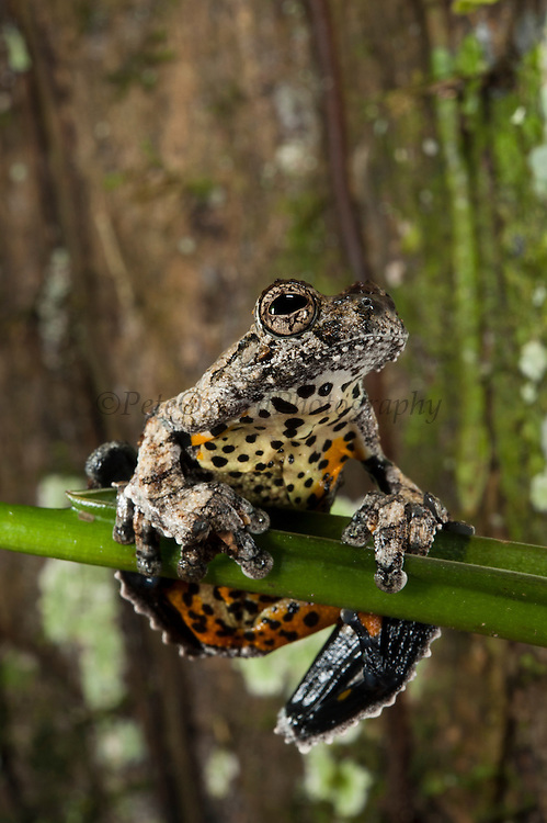 Marbled Treefrog (Dendropsophus marmoratus)<br /> Yasuni National Park, Amazon Rainforest<br /> ECUADOR. South America<br /> HABITAT & RANGE: Near water in open tropical forests of Central and South America