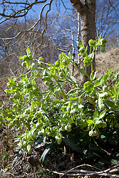 Stinking hellebore growing wild on a chalky bank in Gloucestershire. Helleborus foetidus