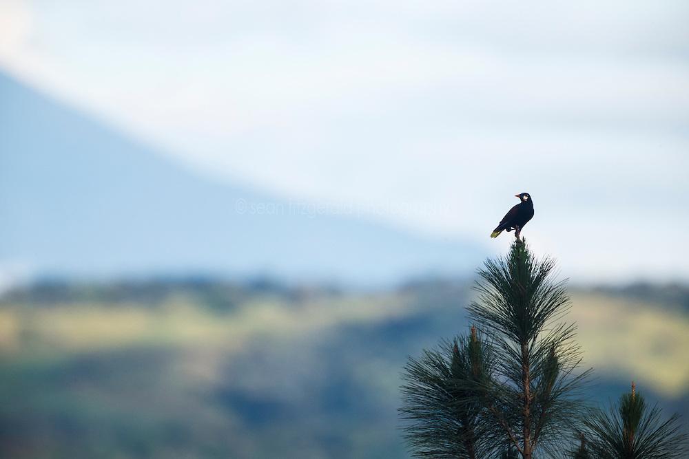 Montezuma Oropendola (Psarocolius montezuma) , Arenal Tilaran Conservation Area, Costa Rica.