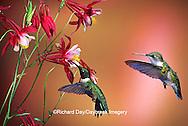 01162-07019 Ruby-throated Hummingbirds (Archilochus colubris) male & female on Crimson Star Columbine (Aquilegia x hybrida) IL