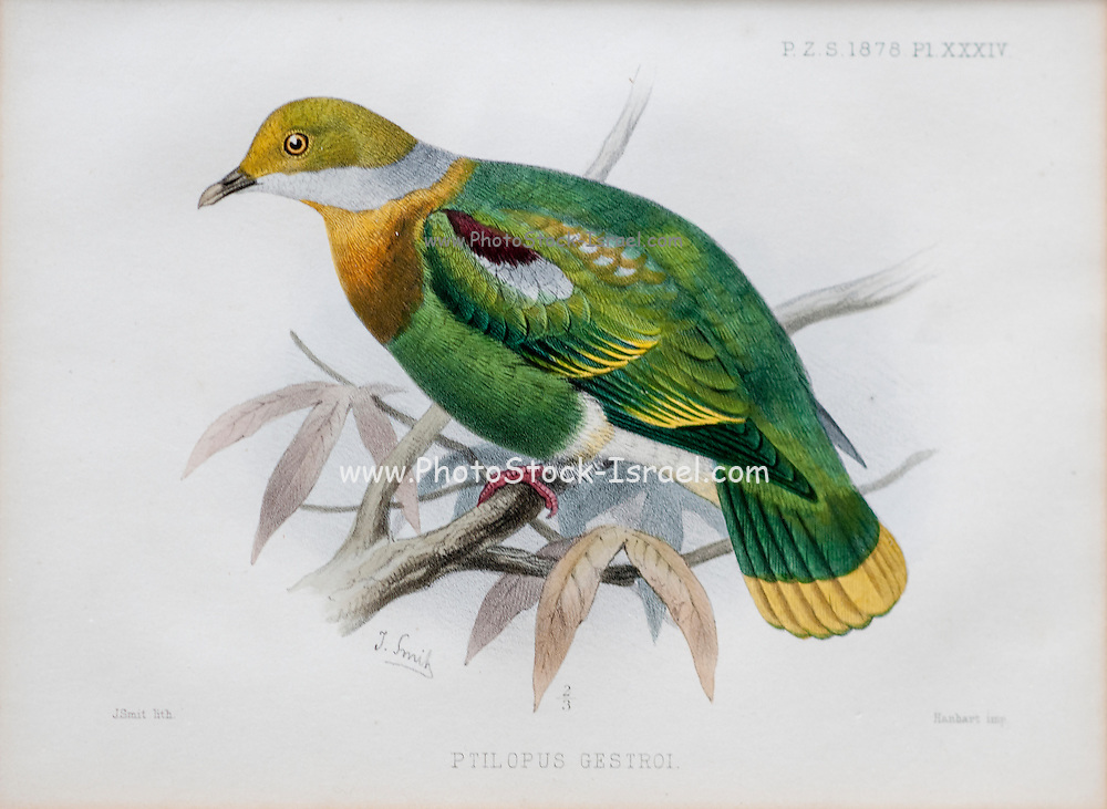 Illustration of Eastern Ornate Fruit-dove (ptilopus gestroi now Ptilinopus gestroi) from 1878