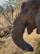Older elephant missing a tusk in  Kruger NP, South Africa