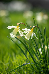 Narcissus 'W.P. Milner' growing in grass