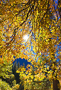 Sunlight filtering through fall oak leaves, Yosemite National Park, California