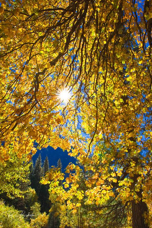 Sunlight filtering through fall oak leaves, Yosemite National Park, California