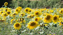 © Licensed to London News Pictures. 23/08/2016. Sunflowers in a Kent field between Gravesend and Rochester today. Gravesend was the hottest place in the country yesterday and is enjoying sweltering temperatures again today.  Credit : Rob Powell/LNP