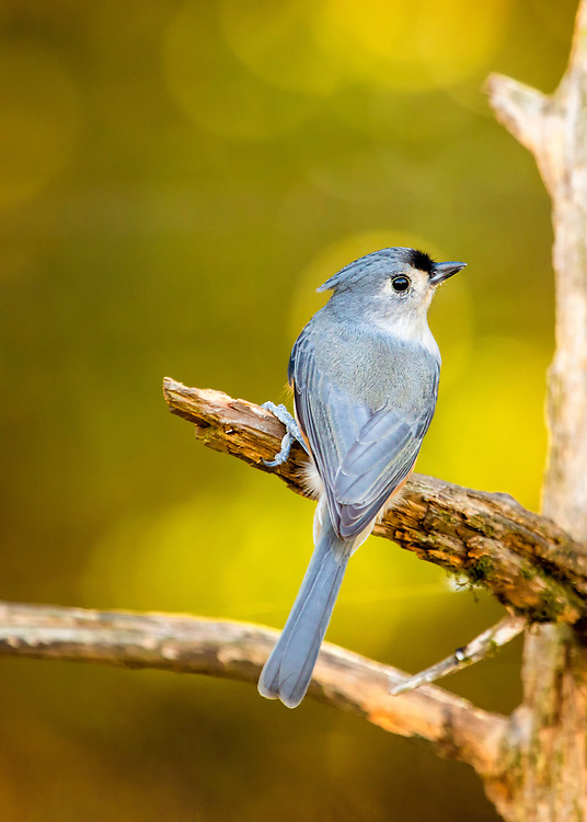 A Tufted Titmouse From Behind, Backed By Autumn Bokeh
