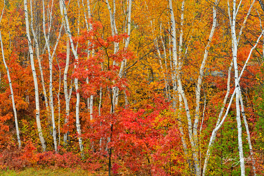 White birch tree woodland in autumn colour on the Laurentian University grounds, Greater Sudbury, Ontario, Canada