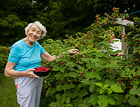 Picking raspberries at Smith Farm Stand in Gilford.  (Karen Bobotas Photographer)