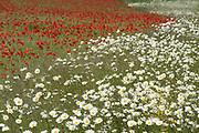 Red Poppies, Papaver rhoeas, and Oxeye Daisy, Leucanthemum vulgare, in field, Kent, UK