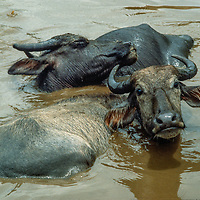 Water Buffalo wallow in a pond in Nepal