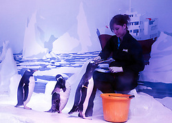 © under licence to London News Pictures. LONDON, 18/05/2011. Nine Gentoo Penguins (Pygoscelis papua) took up residence at the London Sea Life Aquarium today (Wed, 18th May), in a specially designed Antarctic themed Ice Adventure area. The penguins origninate from a breeding colony in Edinburgh. Aquarist Rachel Hick from Sea Life London Aquarium feeding the Gentoo penguins.  Photo credit should read BETTINA STRENSKE/LNP