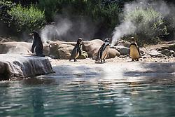 © licensed to London News Pictures. London, UK 08/08/2013. Penguins enjoying the sunshine at London ZSL Zoo on Tuesday, August 08, 2013. Photo credit: Tolga Akmen/LNP