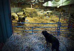 © Licensed to London News Pictures. 08/01/2017. Fetcham, UK. Farm dog Drover watches over the lambing barn at first light on Barracks farm. 80 ewes are expected to give birth to 80-90 lambs for the Easter market. The farm is owned by the Conisbee family who have  supplied their own butchers shops in nearby Horsley for over 250 years. Photo credit: Peter Macdiarmid/LNP