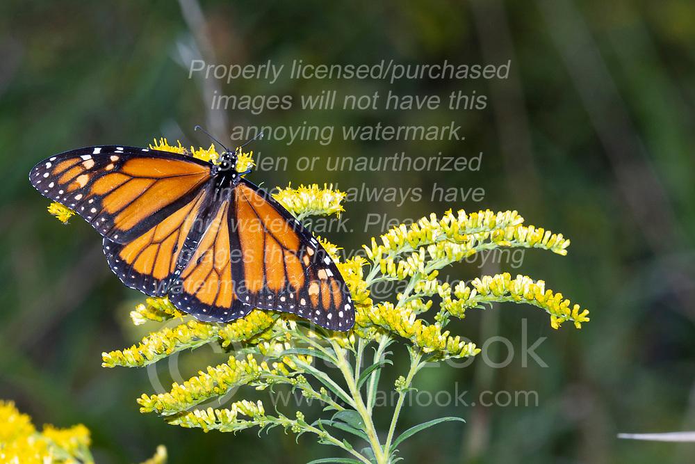 A monarch butterfly (Danaus plexippus) on the flower of tall goldenrod (Solidago altissima)