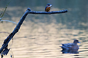 A Kingfisher (Alcedo atthis) perched with a fish in its beak above a small lake in Iziumi no Mori park in Yamato, Kanagawa, Japan. Friday November 2nd 2018