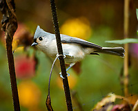 Tufted Titmouse looking for sunflower seeds. Autumn Backyard Nature in New Jersey. Image taken with a Nikon 1 V3 camera and 70-300 mm VR telephoto zoom lens (ISO 200, 300 mm, f/5.6, 1/40 sec).