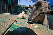 Children's holiday activity a Patting Zoo Young duckling and goat