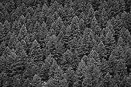 Douglas Fir forest near Walker Pass along US-101 in the Quilcene River Valley, Olympic National Forest, Washington, USA monochrome