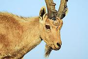 Israel, Negev Desert, Mitzpe Ramon, close up of a male Nubian Ibex (Capra ibex nubiana)