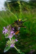 Red-tailed bumblebee (Bombus lapidarius); Amöneburg, Hessen, Germany | Steinhummel (Bombus lapidarius); Amöneburg, Hessen, Deutschland
