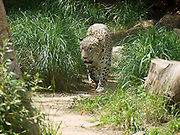 Leopard Panthera pardus searching for food.