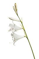 St Bernard's lily, Anthericum liliago, Queyras, France, Europe