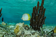 Spotfin Butterflyfish (Chaetodon ocellatus)<br /> Halfmoon Caye, Lighthouse Reef Atoll<br /> Belize<br /> Central America