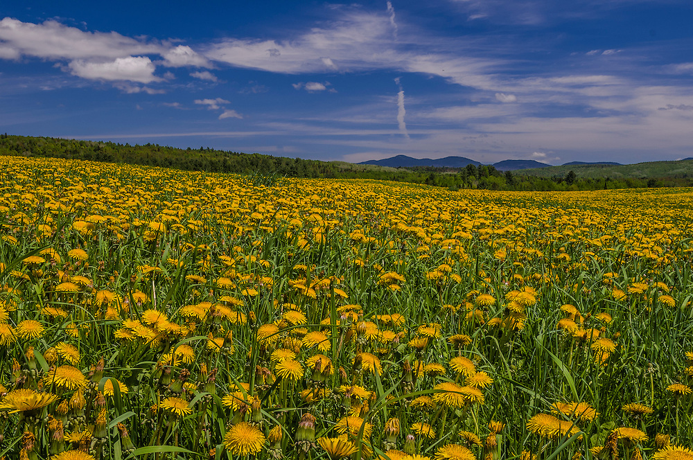 Field full of dandelions, blue sky and clouds, Milan, NH