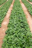 Rows of bok choy growing at The Sahara Forest Project on the outskirts of Aqaba, on Jordan's southern Red Sea coastline. The farm uses desalinated sea water and greenhouses to sustainably farm crops in land that was once aris desert.