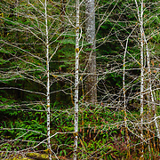 Alders stand out of the forest with their silvery trunks  along Barnes Creek in Olympic National Park, Washington.