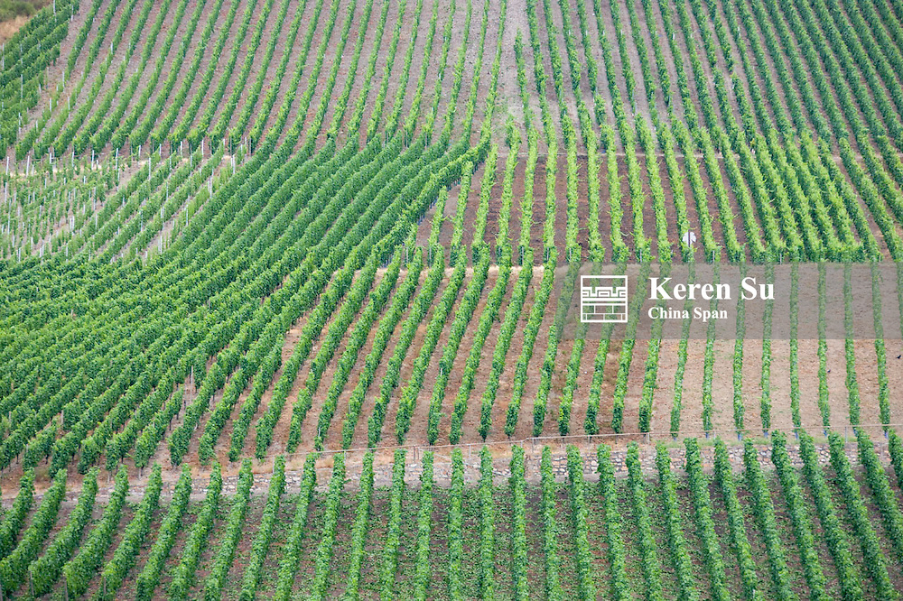 Vineyard on mountain slope along river Rhine, Upper Middle Rhine Valley (UNESCO World Heritage site), Boppard, Germany